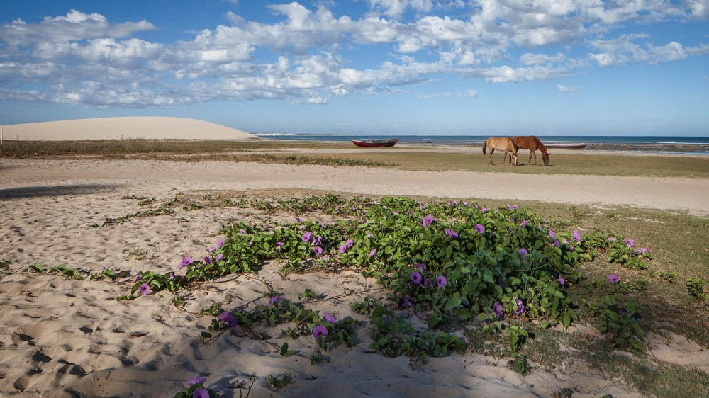 Horses munching by the sea in Jericoacoara